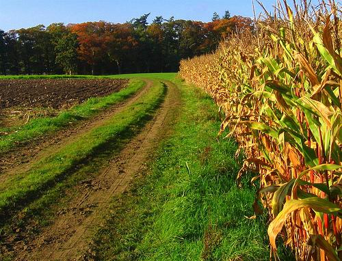 Corn Field by Frederik Van Roest