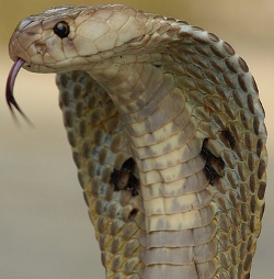 Indian Spotted Cobra