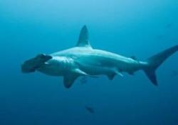Shark-250x175