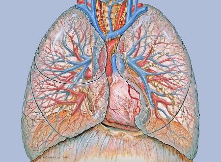 Thoracic Anatomy by Patrick Lynch (Wikimedia Commons)