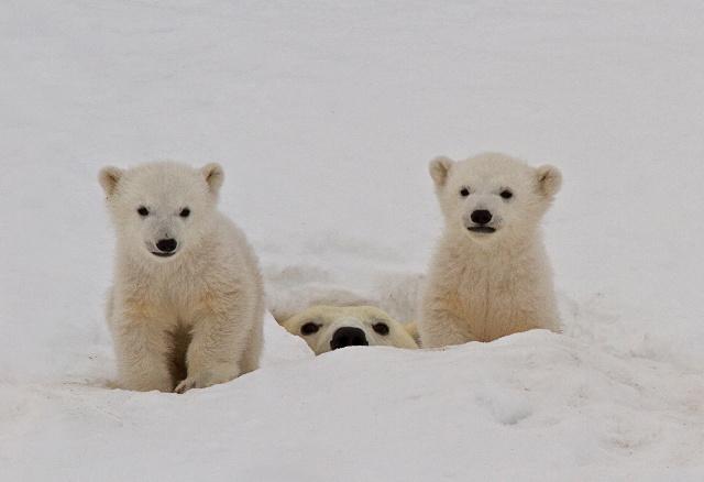 polarbearbabies