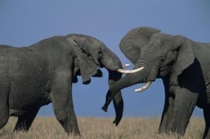 Two African elephants (Loxodonta africana), duelling, Kenya