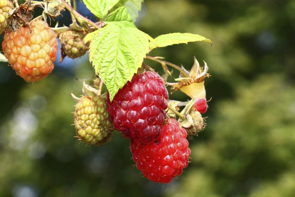 raspberries on the fine
