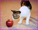 cat sniffing apple