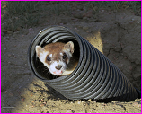 endangered black footed ferret