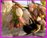 bee foraging on blueberry flowers