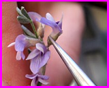 USFS greenhouse hand pollination