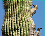 gila woodpecker in saguaro cactus